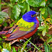The Holy Grail of Spring Migration~ Male Painted Bunting (Passerina ciris) by Brody J