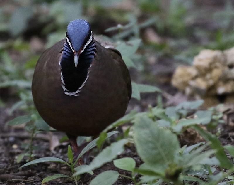 Blue-headed Quail-Dove, Starnoenas cyanocephala Ascanio_Cuba 199A5315
