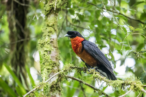 Red-ruffed Fruitcrow | by nickathanas