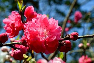 Hangzhou - Cherry Blossom by cnmark