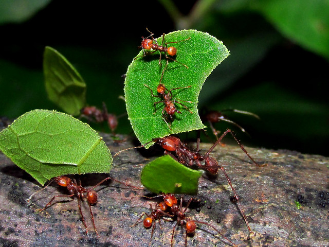 Leaf cutting ant Atta cephalotes, workers with escorts carrying pieces of leaves to the nest