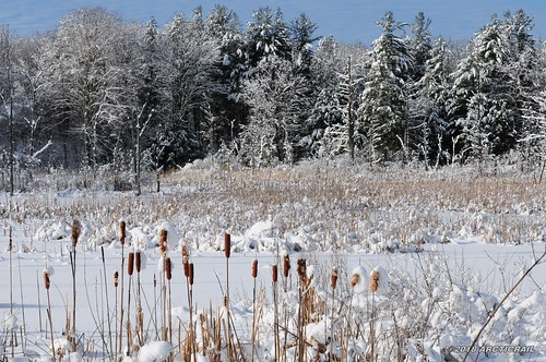 snow ice nikon new york state northern winter altmar cat cattails tail pine trees