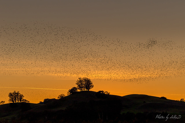 It Begins: A Murmuration of Starlings...