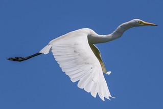 Egrets at Pulicat Lake, India