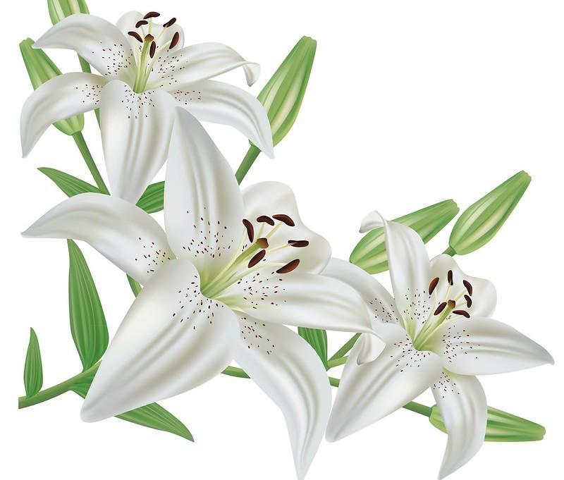 Обои Цветы, Белые, Лилии картинки на рабочий стол, раздел цветы - скачать