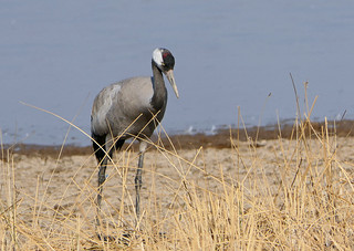 Common Crane (Grus grus)Common Crane (Grus grus)
