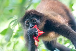 Spider Monkey eating Hibiscus flower - Costa Rica