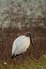 Wood Stork by sr667