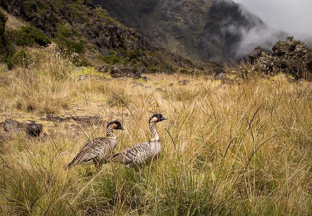 Hawaiian goose- Branta sandvicensis