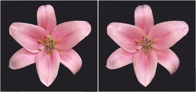 Lily -pink on black - (2) -stereo cross-view