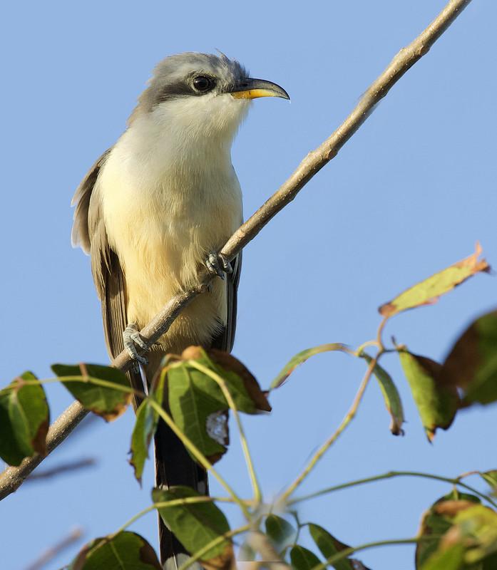 Mangrove Cuckoo, Coccyzus minor Ascanio_Cuba 1 199A4123