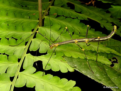 Stick insect, Oreophoetes topoense feeding on Fern | by In Memoriam: Ecuador Megadiverso