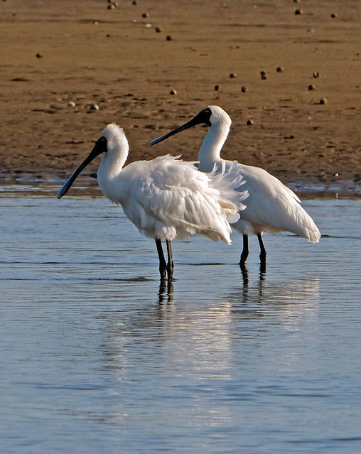 Spoonbills Orowaiti Lagoon Westport NZ