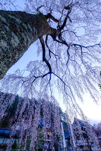 The weeping cherry tree at Minobusan Kuonji temple