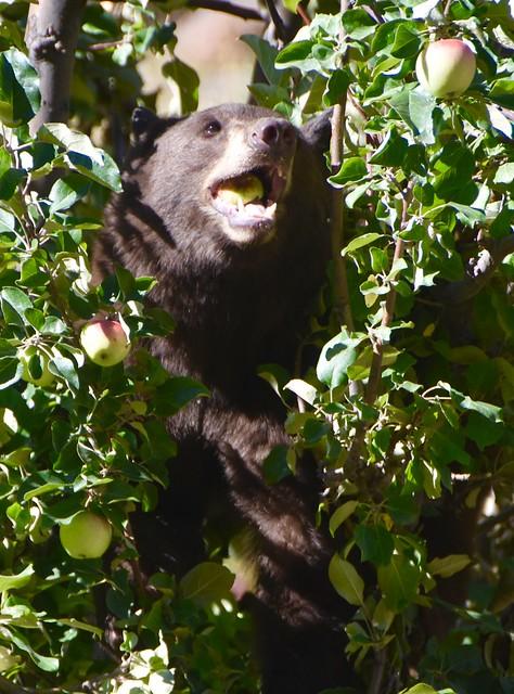 Wild Black Bear swallowing a whole apple