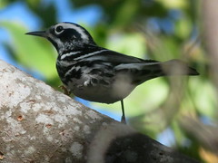 Black-and-white Warbler, Zachary Taylor S.P., Key West, Florida 3/