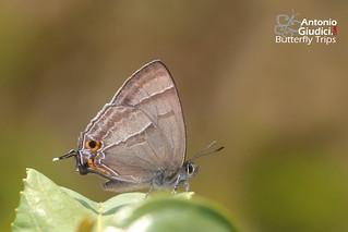 The Kabru Hairstreak - ผีเสื้อเส้นมรกตเขาคาบรู | by Antonio Giudici Butterfly Trips