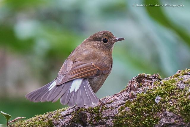 White-tailed Robin - Myiomela leucura