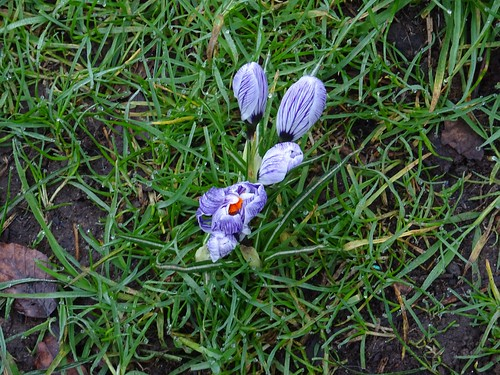 Crocus from above | by Phil Gayton