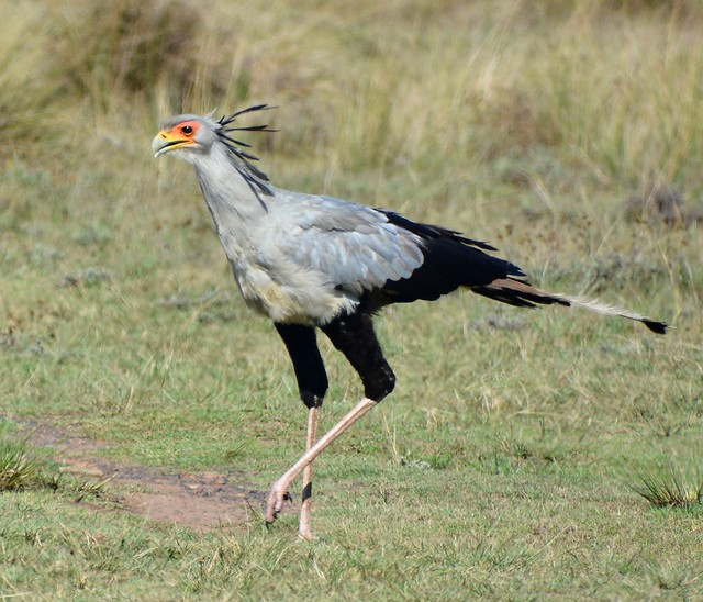 Secretarybird Gondwana DSC_1776