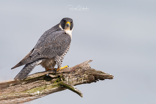 Peregrine Falcon - Falco peregrinus | 2019 - 10 [EXPLORED]