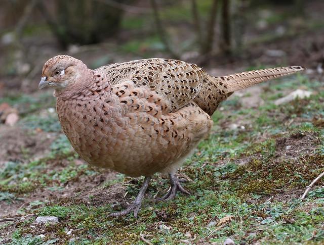Female Pheasant 1