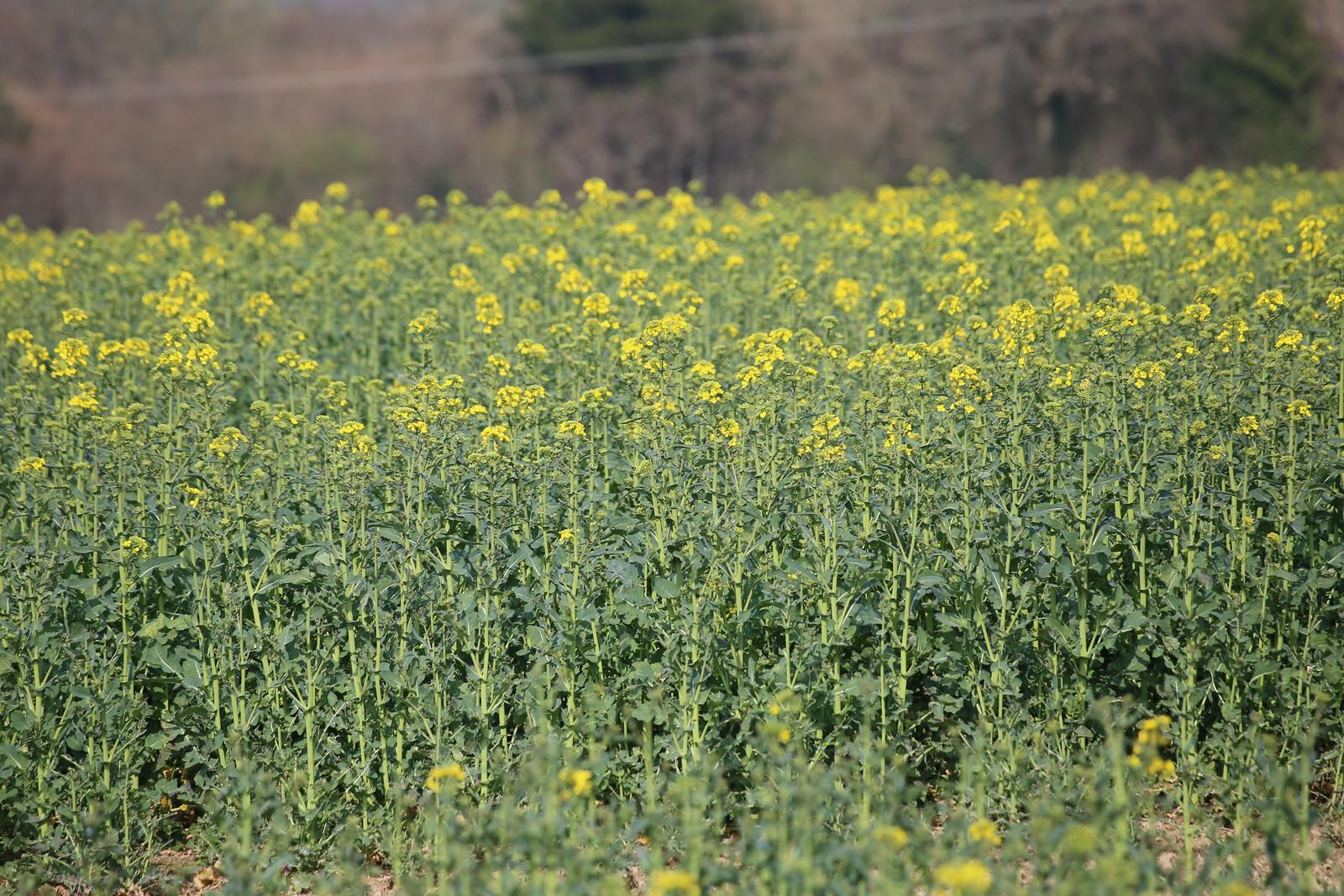 Oil seed rape field near Eridge