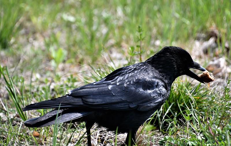 Crow 13.04 (7)