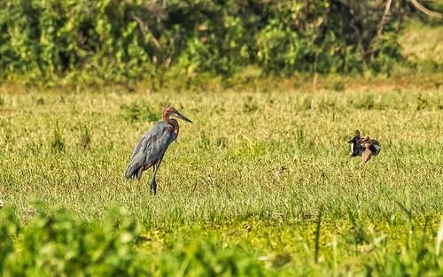 birds ducksgeese egyptiangoose goliathheron heronsbitterns murchinsonfallsnp places uganda whitenilelowermurchisonfalls