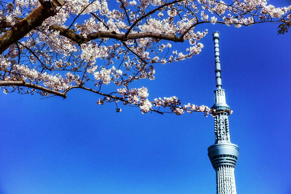 Cherry Blossom & The Tokyo Skytree
