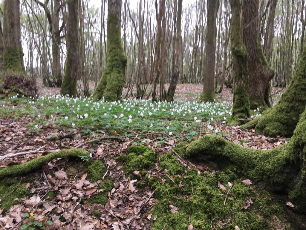 Wood Anenomes ... or are they wooden enemies? Robertsbridge to Battle