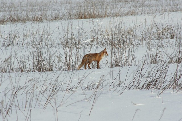 Rebane / Fox