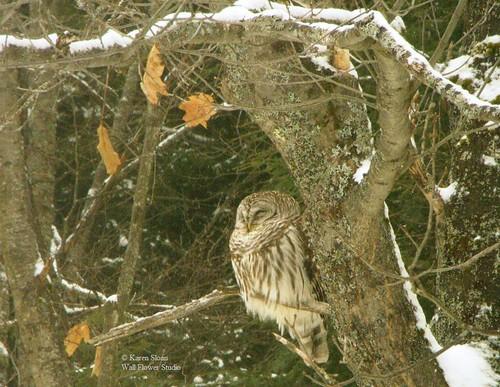 Barred Owl in our yard | by Karen @ Wall Flower Studio