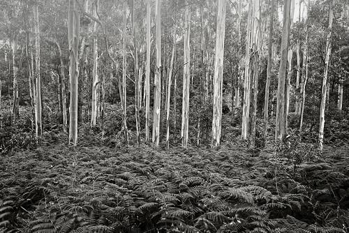 forest trees eucalypts gums gumtrees landscape ferns mainrangenationalpark queensland nikond800 nikon160350mmf40 blackandwhite bw