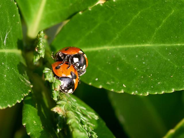 Lustful Ladybirds