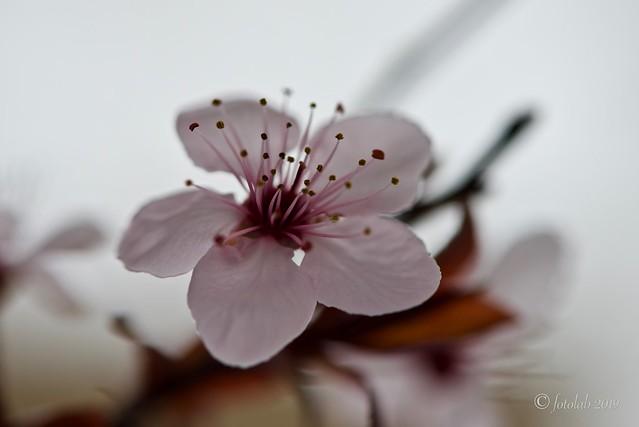 Flor del ciruelo de jardín, (Prunus cerasifera).