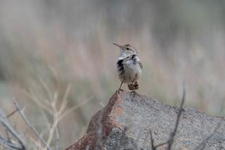 Rock Wren (Salpinctes obsoletus) | by byjcb