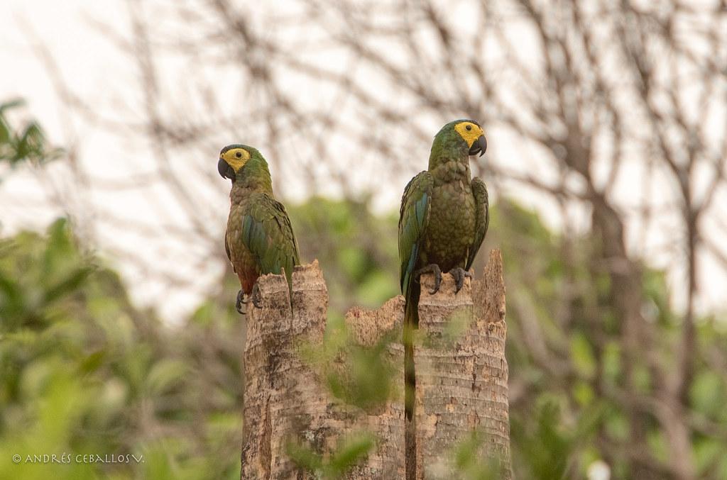 Orthopsittaca manilata (Red-bellied Macaws - Guacamaya Buchirroja)