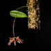 [Sulawesi, Indonesia]  Bulbophyllum longiflorum '1804 Climb' (Red deep spot) Thouars, Hist. Orchid.: t. 98 (1822)