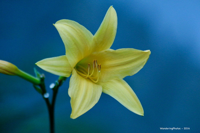 Yellow Lily Flower - Inkaterra Machu Picchu Pueblo Hotel Aguas Calientas Peru