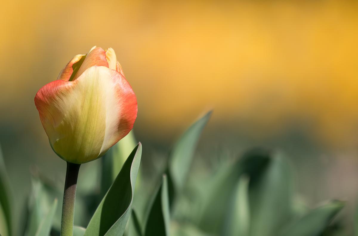 Tulipes 47523656571_ea1a782943_o