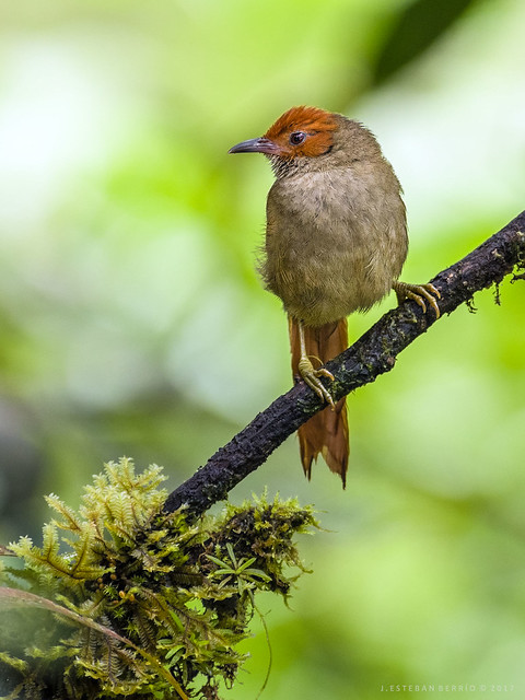 Cranioleuca erythrops / Red-faced spinetail / Chamicero rubicundo