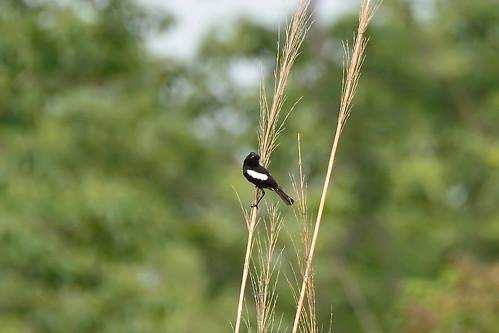 Черный чекан, Saxicola caprata burmanicus, Pied Bushchat | by Oleg Nomad