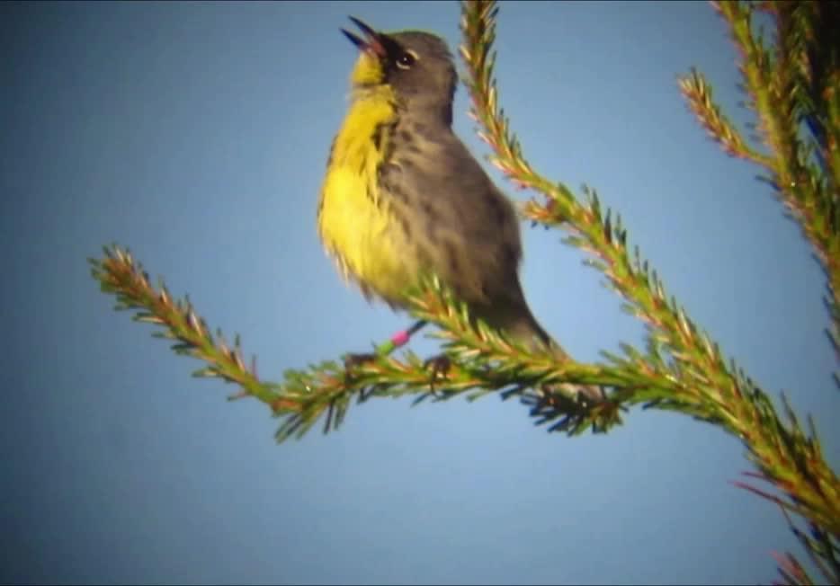 Kirtland's warbler singing