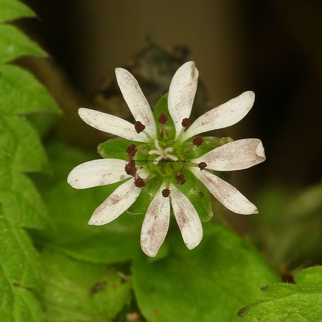 Microbotryum stellariae on Water Chickweed (Myosoton aquaticum) 10.10.17 (10)