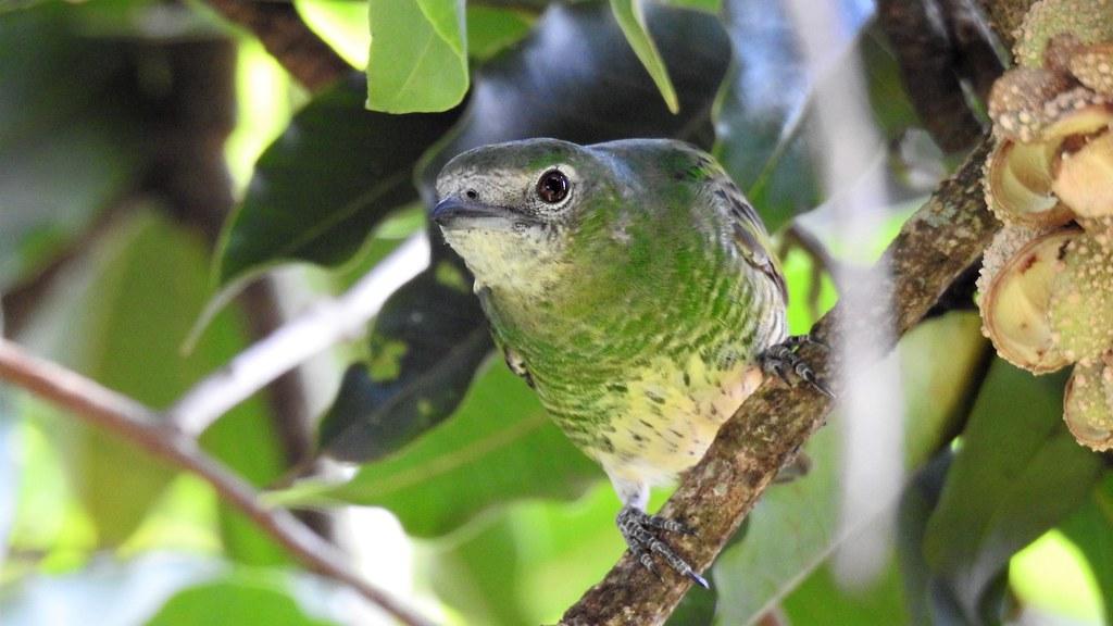 Saí-andorinha - Swallow Tanager
