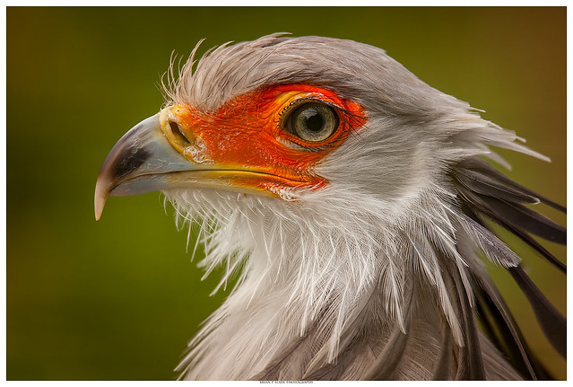 Secretary Bird In Portrait