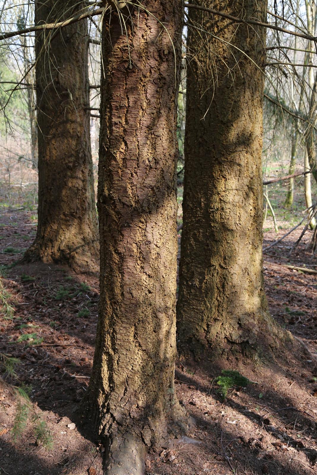 Douglas fir bark - near Eridge