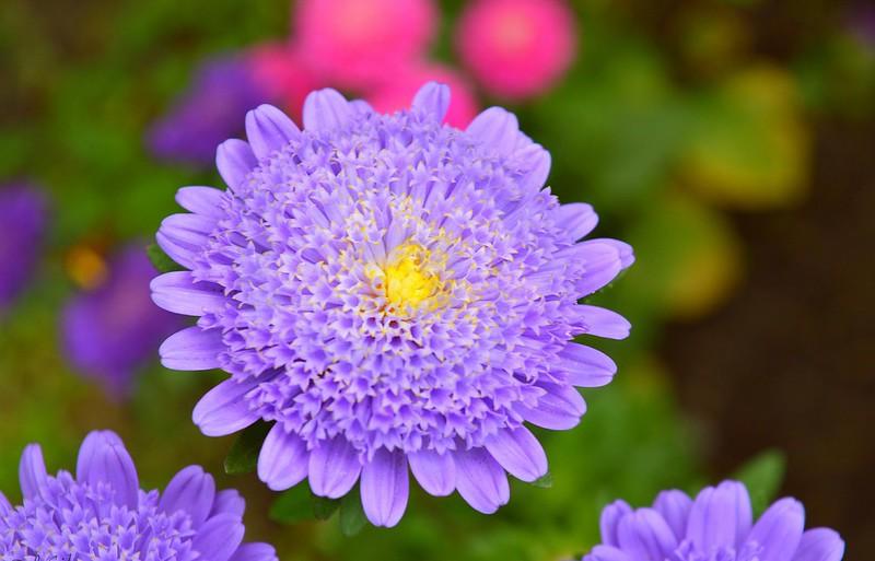 Обои Макро, Macro, Фиолетовый цветок, Purple flower, Короставник, Knautia картинки на рабочий стол, раздел цветы - скачать