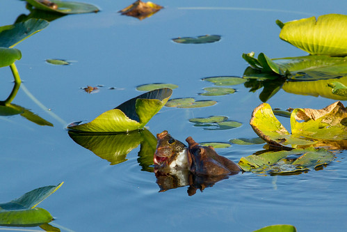 Florida softshell eating a fish | by jan.stefka